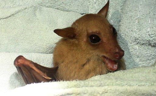 Blossum Bat