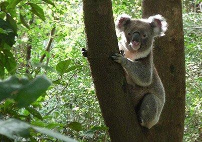 Koala-01