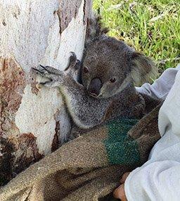 Koala-02